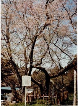 市指定文化財 墨染桜 | 東金市ホームページ
